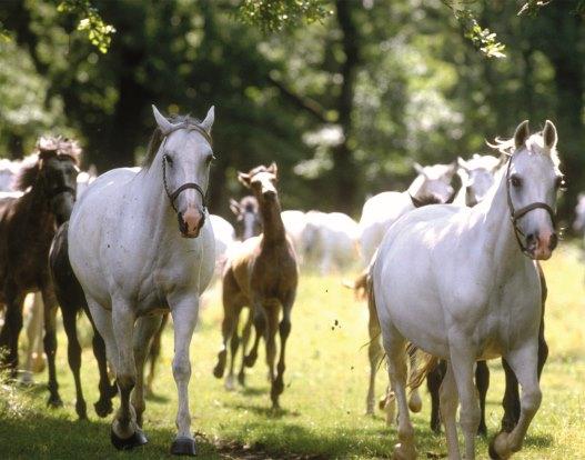 Lipica horses Kempinski Palace Portoroz Istria Slovenia